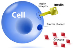 increase muscle insulin sensitivity
